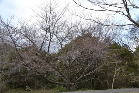 キャンプ 桜 甫喜ヶ峰