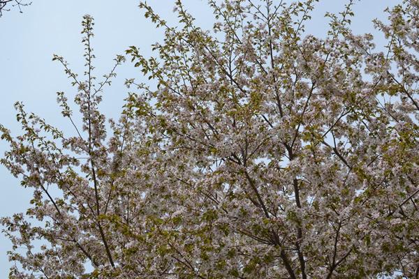 高知 キャンプ 花見 春 ベルテント