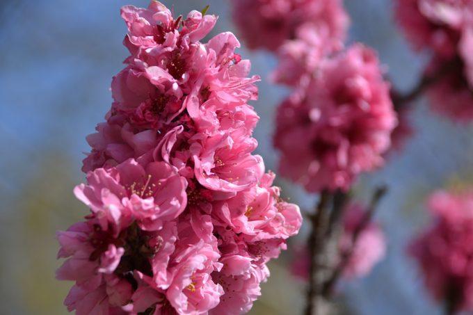 キャンプ 桜 サクラ 花見